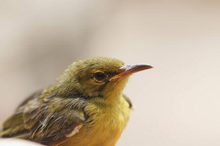 sunbird: Olive-backed sunbird