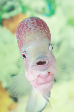 Flowerhorn fish swimming in aquarium, tropical fish looking at the camera Stock Photo - 14654608