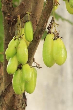bilimbi: Bilimbi fruit or Averhoa bilimbi Linn  on the tree