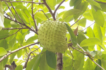 custard apple fruit: Soursop or prickly custard apple or durian belanda or guanabanas  Annona muricata L   fruit