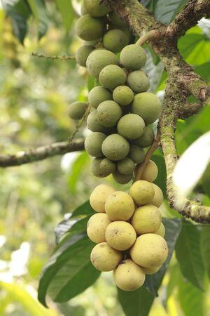 Fresh young longkong on tree