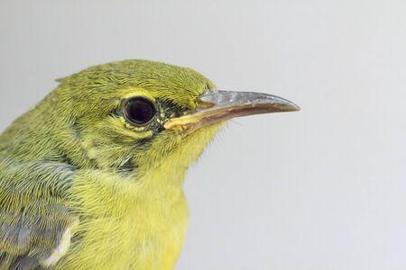 sunbird: Little olive-backed sunbird