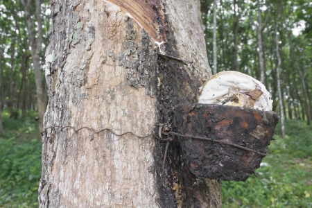 Closeup of rubber flows from the rubber tree into the cup from a fresh cut photo