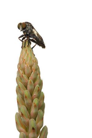 aloe flower: Fly on Aloe flower