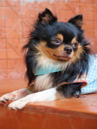 long haired chihuahua: Portrait of cute long haired chihuahua