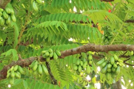 bilimbi: Bilimbi (Averhoa bilimbi Linn.) or cucumber fruits on tree Stock Photo