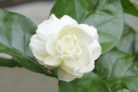 jasmine: Arabian jasmine (Jasminum sambac) flower on tree
