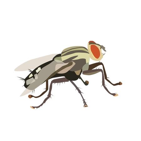 house fly: Vector illustration of housefly Illustration