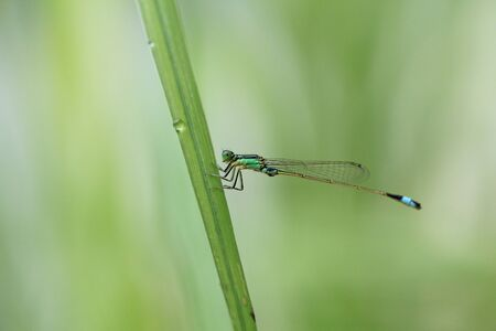 Dragonfly resting on a weed Stock Photo - 20477471