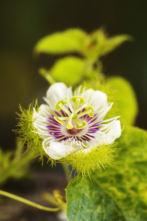 passionflower: Soft-focused photograph of a tropical wild passionflower  Passiflora incarnata  growing wild in Thailand
