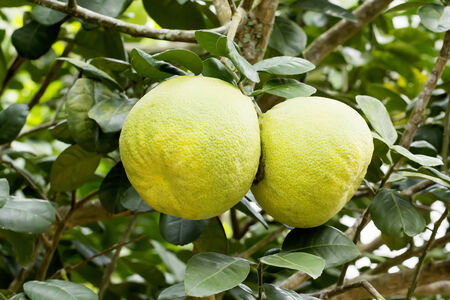citrus maxima: Pomelo fruits on tree  Citrus maxima Merr   Stock Photo
