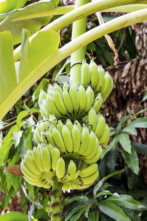 Bunch of bananas on tree photo