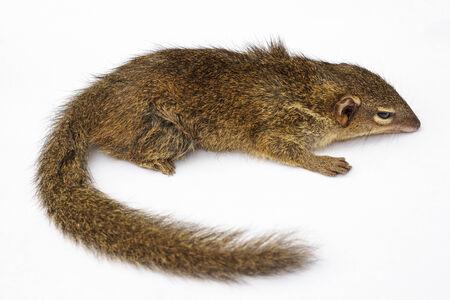 Common treeshrew or Southern treeshrew  Tupaia glis