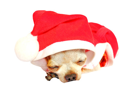 Chihuahua wearing a Christmas hat isolated on white background photo