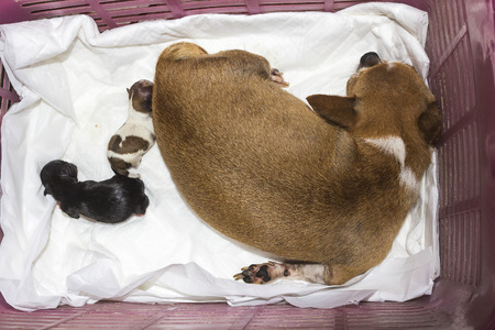 Chihuahua and just born puppies sleeping after Caesarean section Foto de archivo