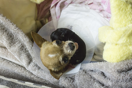 Chihuahua and just born puppy sleeping after Caesarean section
