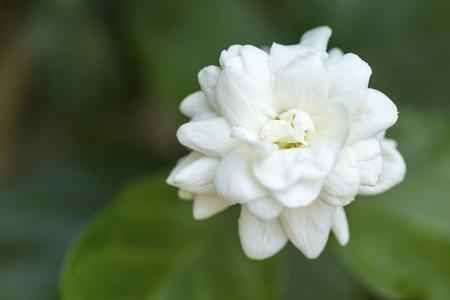 Arabian jasmine Jasminum sambac flower on tree