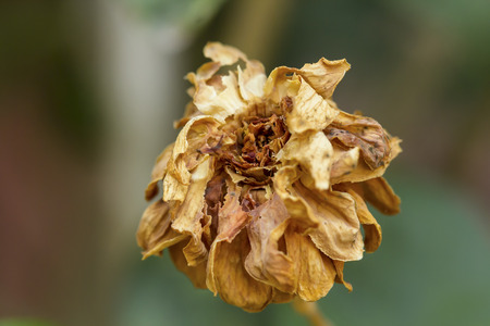 Closeup of withered and dried jasmine flower