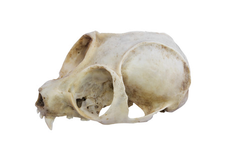 Slow loris monkey skull isolated with clipping path photo
