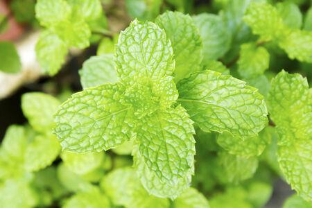 Fresh growing green mint leaves
