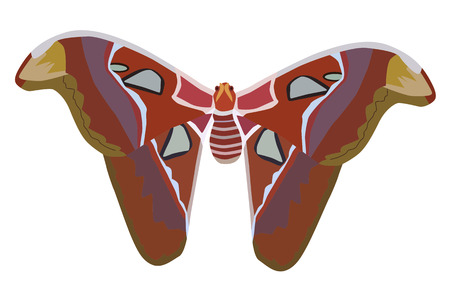 biggest animal: Vector illustration giant atlas moth isolated on white