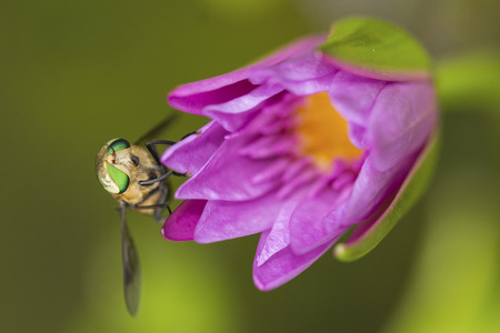 Green housefly on pink lotus flower photo