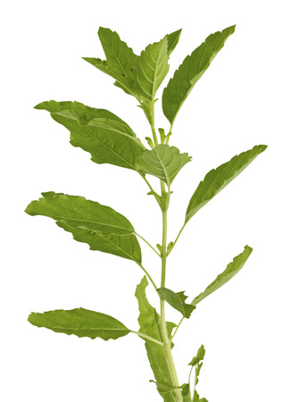 Holy Basil isolated with clipping path photo