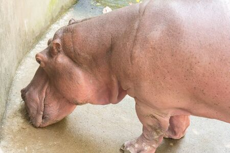 amphibius: Hippopotamus, Latin name - Hippopotamus amphibius