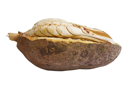 caoba: Abrir espect�culo c�scara interior del amplio semilla caoba de hoja aislado en el fondo blanco con el camino, la caoba de buena fruta hierba de recortes para el tratamiento saludable