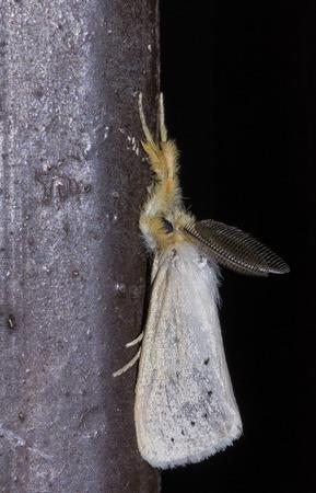 moth: Gypsy moth butterfly on black background