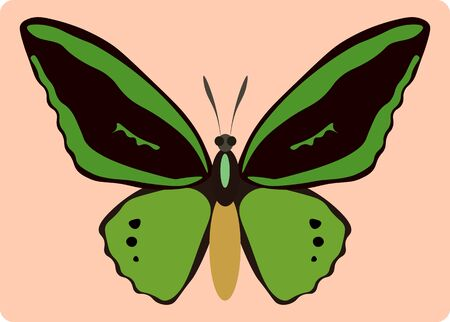 butterfly isolated: Vector illustration of ornithoptera paradisea butterfly isolated on pink background Illustration