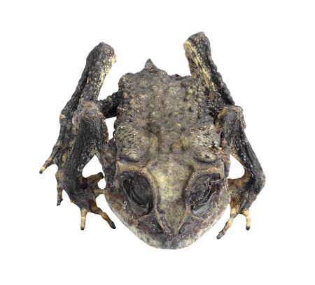 mummified: Mummified toad isolated on white background with clipping path