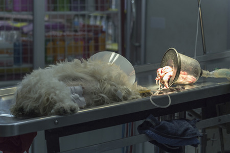 operating table: Dog lose consciousness after Caesarean section with just born puppy on operating table in veterinarians clinic Stock Photo