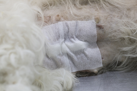 an operative: Dog surgery wound after operation