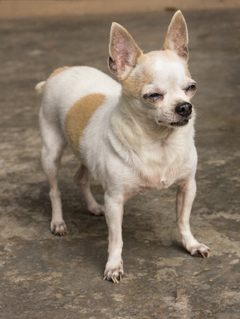 short haired: Short haired chihuahua dog standing