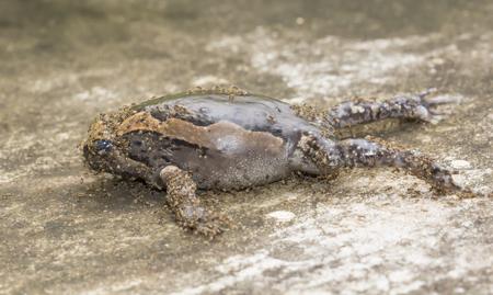 bullfrog: Ant eat dead bullfrog