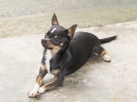 haired: Short haired chihuahua dog resting