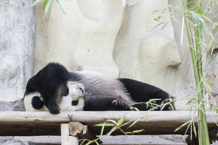 endanger: Giant panda sleeping on wooden bed Stock Photo