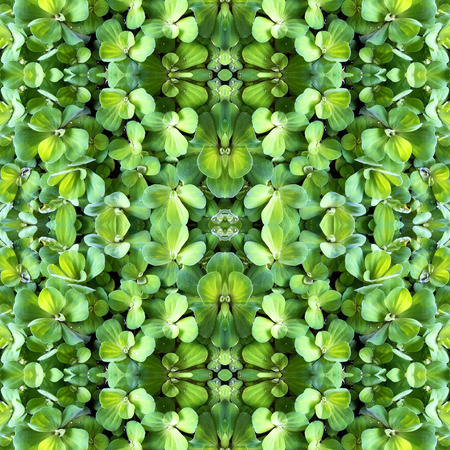 floating on water: Abstract kaleidoscopic texture or background pattern design made from green floating water lettuce or Pistia stratiotes