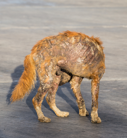 mangy: Mangy dog with scars in Thailand