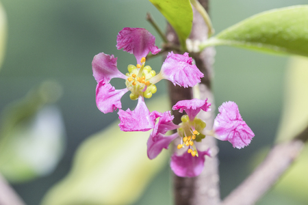 sour cherry: Flowers of sour cherry on tree