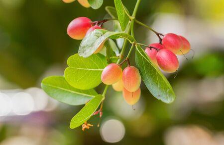tropical plant: Karonda or Carunda Fruits Tropical Fruits growing on tree in garden Stock Photo