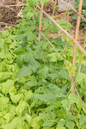 cow pea: Yard long bean plant farm