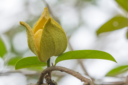 annona: Flower of soursop or prickly custard apple or durian belanda or guanabanas (Annona muricata L.)