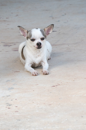 short haired: Portrait of white short haired chihuahua dog