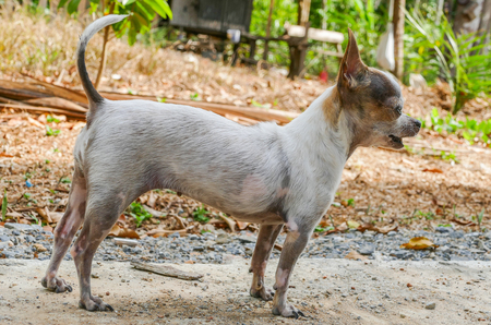 barking: Cute small female chihuahua dog standing and barking outdoor Stock Photo