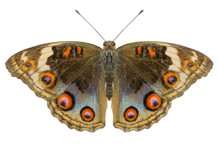 Buckeye Butterfly with open wings in top view as flying isolated on white background Stock Photo