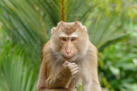 macaque: Portrait of Thai Macaque monkey