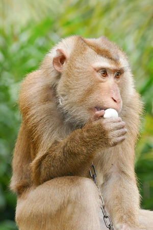 Portrait of Thai Macaque monkey