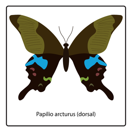 Vector illustration of Papilio arcturus (dorsal) butterfly isolated on white background Illustration